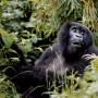 A mountain gorilla in Rwanda / Eric Miller - Panos Pictures
