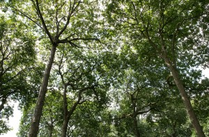 Brazil Nut trees - Lilo Clareto   Panos London